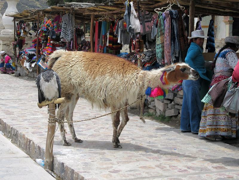 Llamas và alpacas là 2 thứ dễ lẫn lộn vì khá giống nhau và vì tình trạng  khối lông khác nhau do người ta cắt. Nhưng mà đối với tu rít thì ...