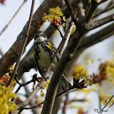 Yellow-rumped Warbler (Jeff Keller)