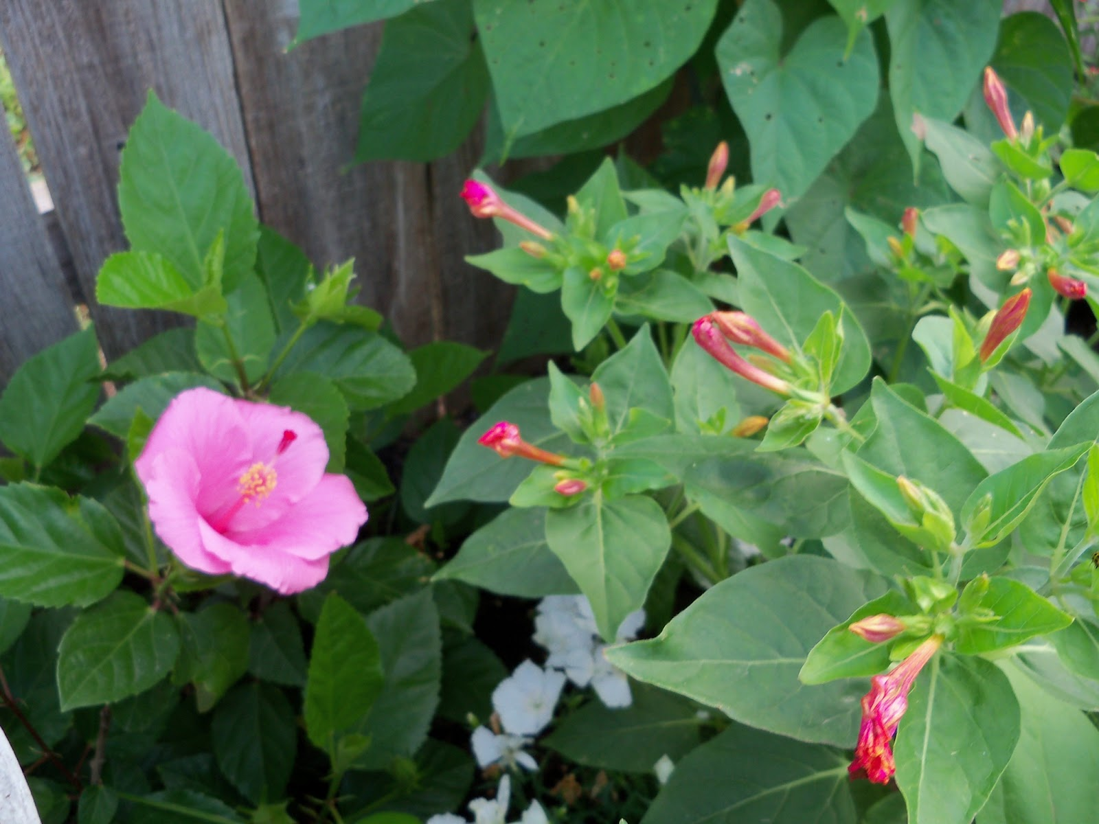 Gardening 2011 - 100_8204.JPG