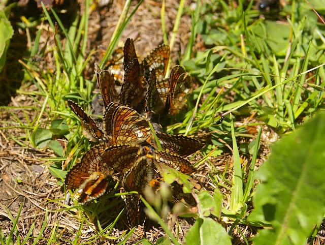 Rassemblement de Mellicta varia MEYER-DÜR, 1851, mâles & femelles. Versant Sud-Ouest des Becs de Bosson, 2200 m. 3 juillet 2005. Photo : J.-M. Gayman