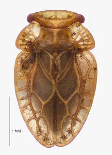 Xenophyes rhachilophus (Hemiptera: Peloridiidae). Photo BE Rhode, colour correction in collaboration with M-C Larivière.Citation: Larivière M-C, Burckhardt D, Larochelle A. 2011. Peloridiidae (Insecta: Hemiptera: Coleorrhyncha). Fauna of New Zealand 67. 78 pp. http://www.biotaxa.org/fnz/issue/view/431