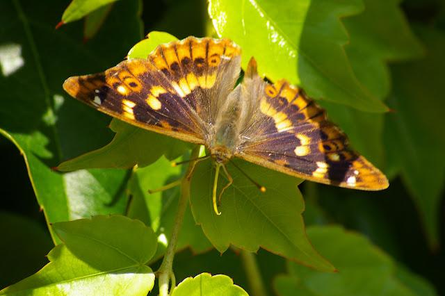 Apatura ilia DENIS & SCHIFFERMÜLLER, 1775, mâle. Les Hautes-Lisières (Rouvres, 28), 22 juin 2011. Photo : J.-M. Gayman