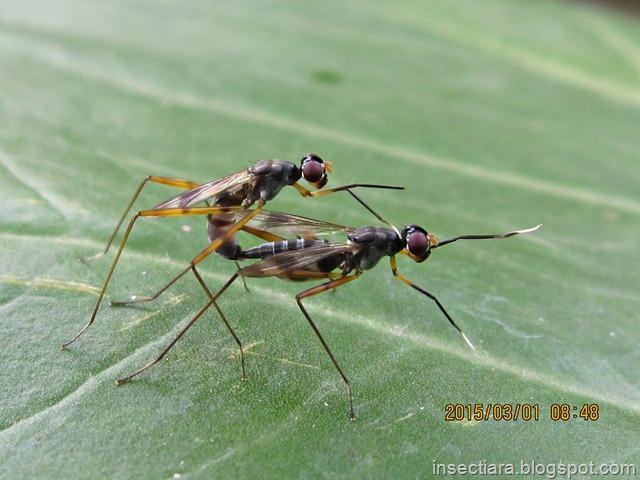 Lalat Micropezidae (stilt-legged flies) kawin 01