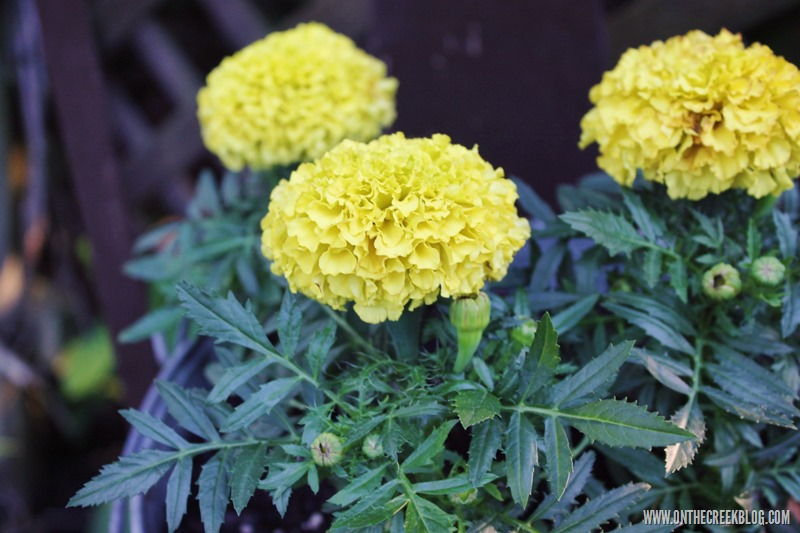 flowers | marigold