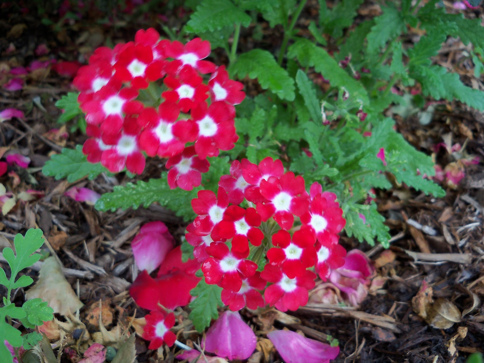Gardening 2010 - 101_1569.JPG