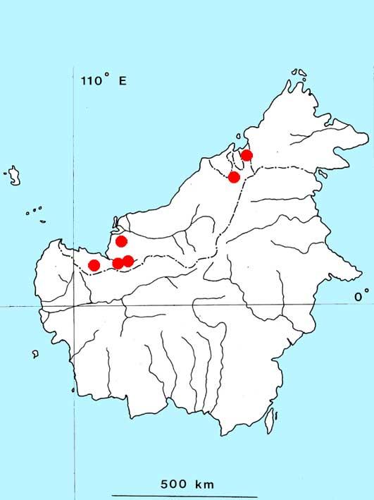 Криптокорина длиннохвостая (Cryptocoryne longicauda)