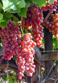 Vine Abide in Christ Grapes John 15:1-8