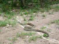 Python - Linyanti Concession (Chobe Region)