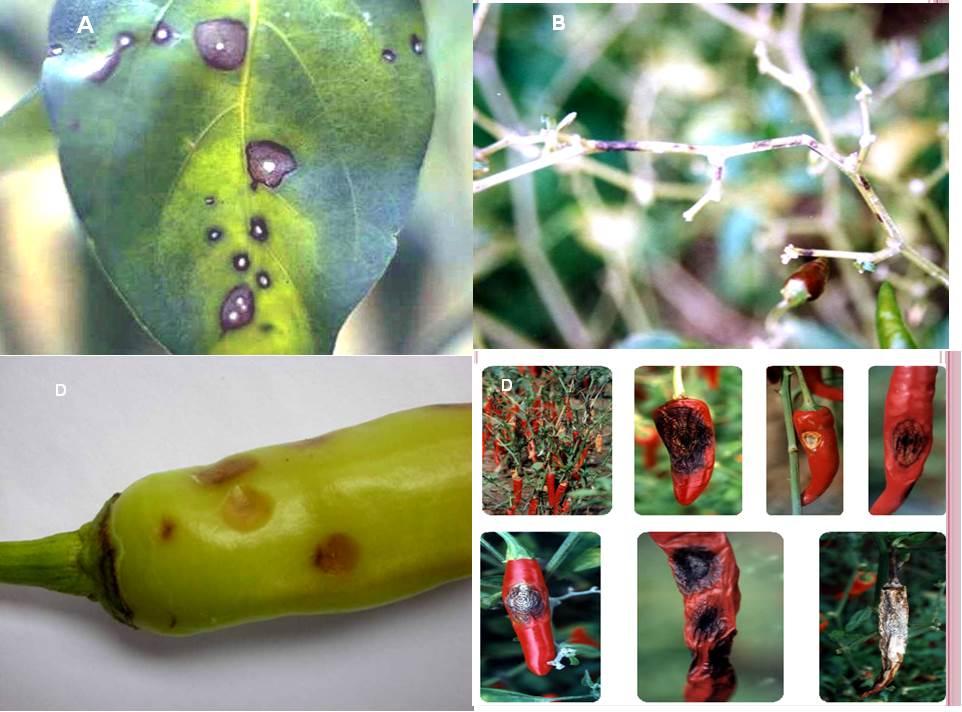 Biện pháp phòng trừ bệnh thán thư tăng năng suất cây ớt - 55b57f9d57b62