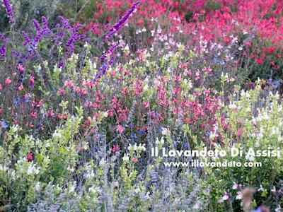 Salvia officinalis e salvie ornamentali coltivazione for Piante da giardino perenni pieno sole