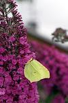 Citronsommerfugl - han på sommerfuglebusk.jpg