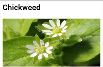 Chickweed botanical name