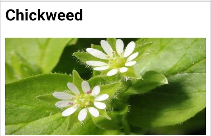 Botanical name of Chickweed and its medicinal properties