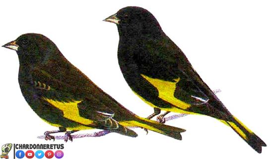 السسكن الأسود أو الحسون البوليفي