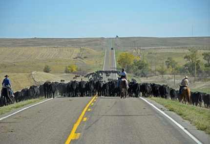 Cattle Drive1