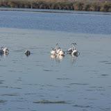 Flamingos na Ria de Aveiro!