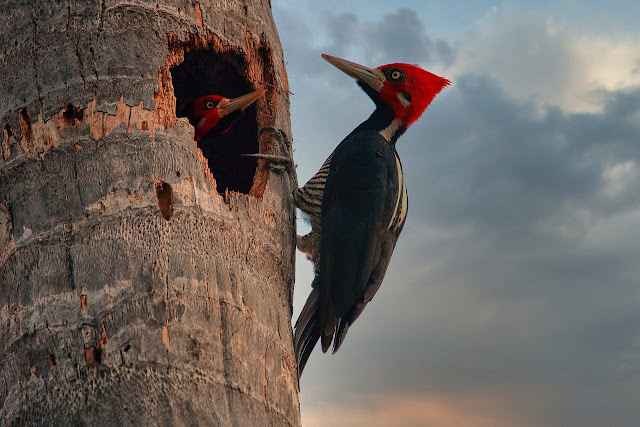 Fabled Ivory Billed Woodpecker