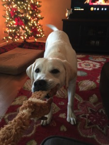 A white Labrador Retriever playing tug-of-war with a chew toy