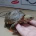 Thải Urat ở rùa là gì? Thải Urat quan trọng như thế nào?