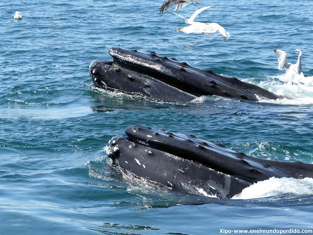 ballenas-jorobadas-cape-cod.JPG