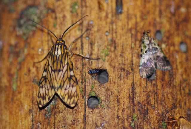 Arctiidae : Ctenuchini : Eucereon bricenoi ROTHSCHILD, 1912. Los Cedros, 1400 m, Montagnes de Toisan, Cordillère de La Plata (Imbabura, Équateur), 18 novembre 2013. Photo : J.-M. Gayman