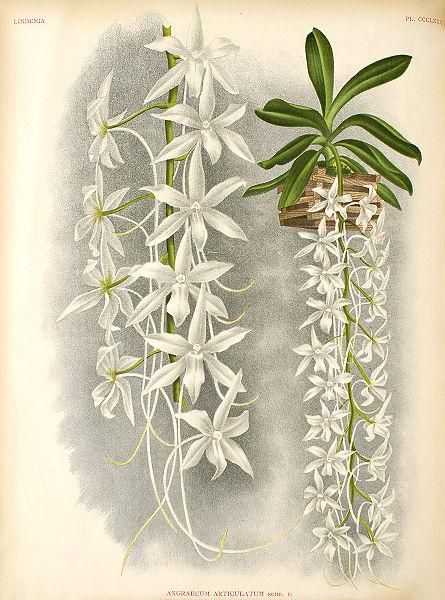 Растения из Тюмени. Краткий обзор 445px-Aerangis_articulata