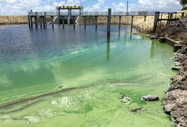 Blue-green algae in a canal in Wellington, Florida. Photo: Allen Eyestone / TNS