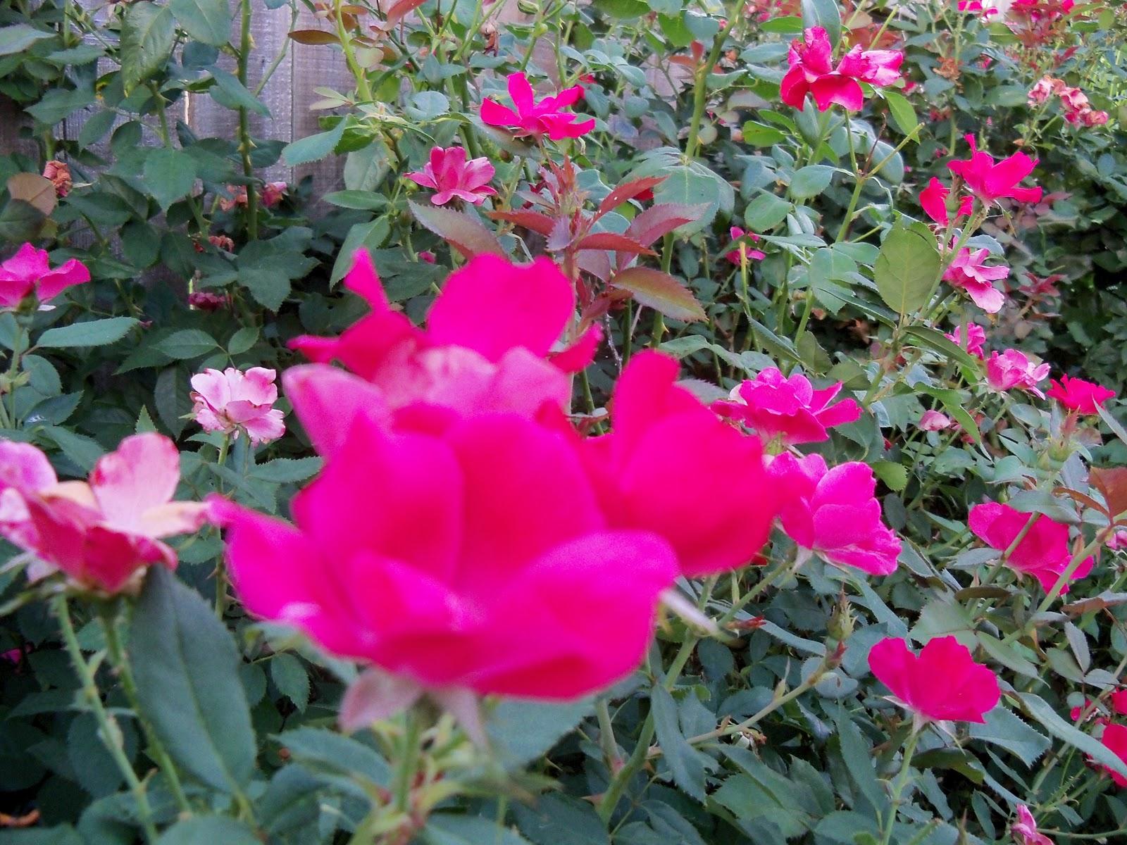 Gardening 2010, Part Three - 101_4324.JPG
