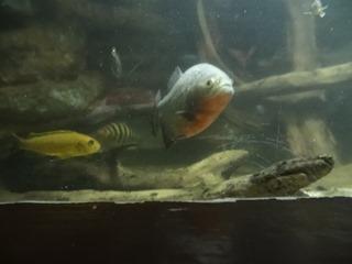 2016.03.14-024 piranha