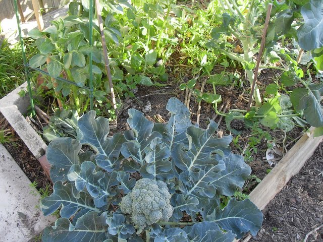 broccoli growing in broad bean plot
