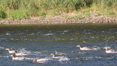 Merganser adolescents fishing at Namanock Island, Delaware River.