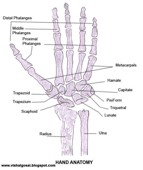 Bones Muscles Human Anatomy Quiz