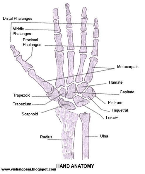 Bones muscles human anatomy quiz human anatomy quiz ccuart Gallery