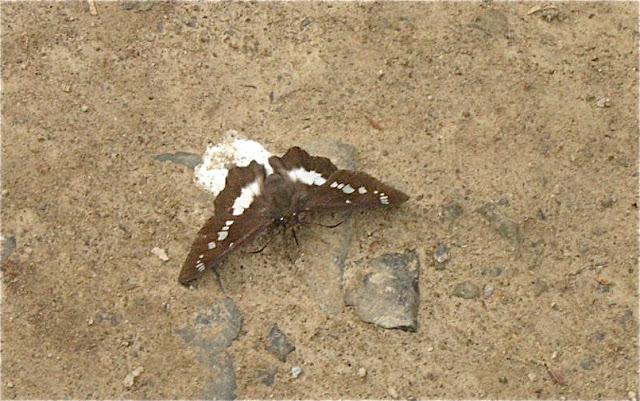 Satarupa nymphalis SPEYER, 1879 (Hesperiidae). 6 km au sud d'Anisimovka, 21 juillet 2010. Photo : J. Michel