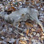 Chevreuil mort