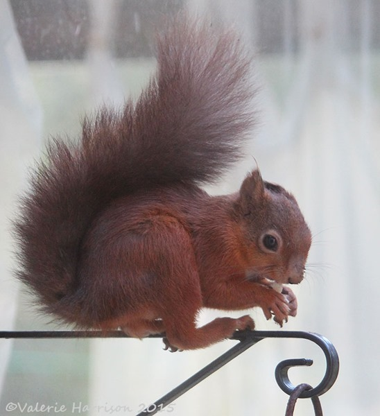 red-squirrel-2 (2)