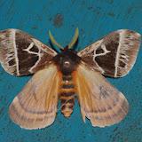"""Hemileucinae : Dirphia carchensis BRECHLIN, MEISTER & KACH, 2013. Type locality: Ecuador, Carchi, Limonal-Chical, 1800 m., road Carmen-Chical, 00º53'52""""N, 78º13'11""""W. Exemplaire : Los Cedros, 1400 m, Montagnes de Toisan, Cordillère de La Plata (Imbabura, Équateur), 20 novembre 2013. Photo : J.-M. Gayman"""