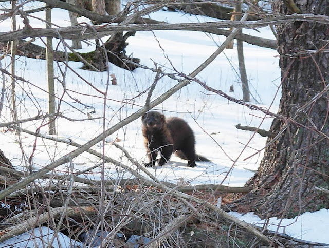 Fishers are expanding their range south of the Canadian Shield