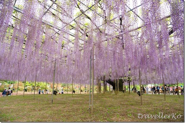 在最美的季節遇見足利紫籐花卉公園:門票交通攻略實況(下)09