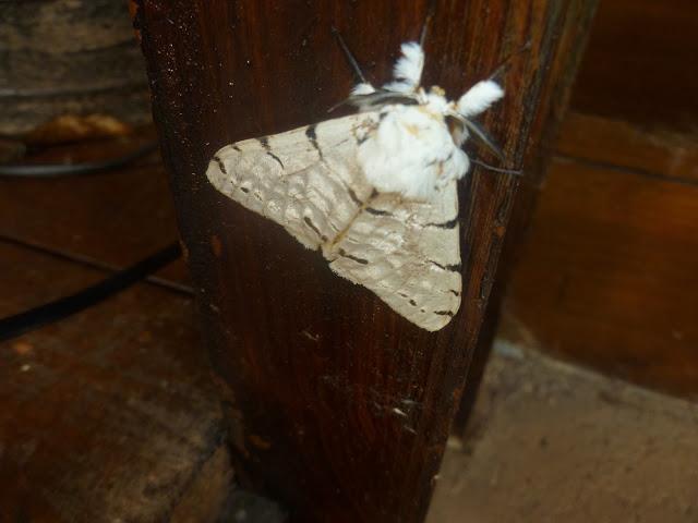 Lymantriidae : Lymantica velutina (MABILLE, 1879), endémique. Saha Forest Camp, Anjozorobe (Madagascar). 2 janvier 2014. Photo : J. Marquet