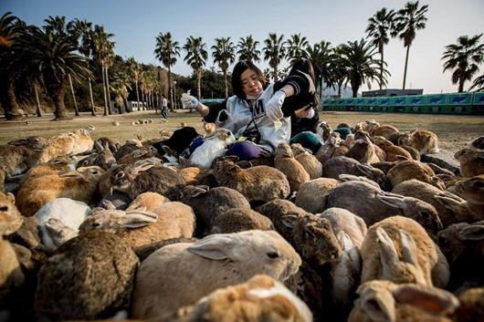 1-Огромное количество кроликов на острове Окуносима