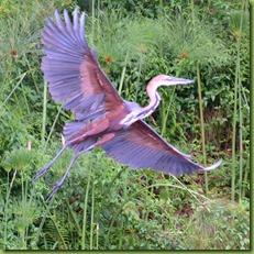 A goliath heron