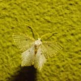 Chloroptery nordicaria (Schaus, 1901). Santa Fe (Veraguas, Panamá), 18 octobre 2014. Photo : J.-M. Gayman