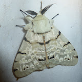 Lymantriidae : Lymantica velutina (MABILLE, 1879), endémique. Saha Forest Camp, Anjozorobe (Madagascar). 1er janvier 2014. Photo : J. Marquet