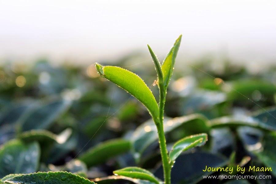 ยอดใบชาเขียวญี่ปุ่นแท้_1
