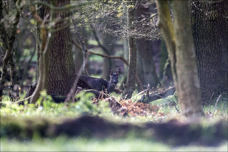 Roe Deer, Woodland Wildlife