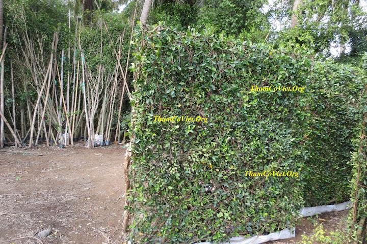 tường cây si