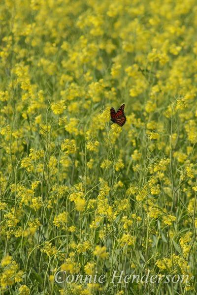 Monarch in the Mustard October 7