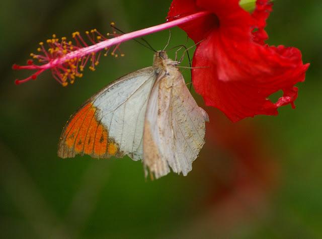 Hebomoia glaucippe glaucippe LINNAEUS, 1758, mâle. Jinghong (Xichuangbanna, Yunnan), 29 août 2010. Photo : J.-M. Gayman