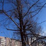 Дуб на фоне домов ул. Пушкарской